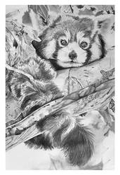 Traditional Drawing - Red Panda Finished
