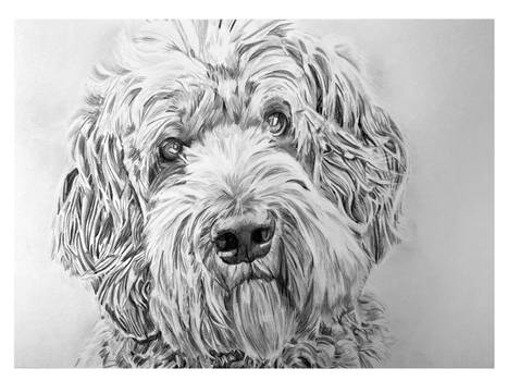 Traditional Drawing - Labradoodle parchment - done