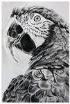 Charcoal Parrot drawing Finished