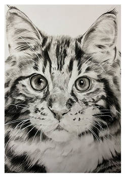 Charcoal Drawing - Maine Coone - Finished