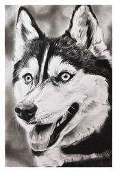 Charcoal drawing - Husky - Finished
