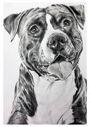 Charcoal Drawing - American Staffordshire Terrier