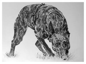 Traditional drawing - Tracking dog commissioned