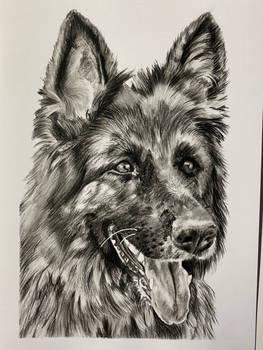 German shepherd charcoal drawing
