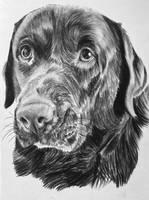 A5 charcoal drawing - Cute labrador