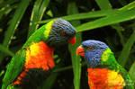 Rainbow Lorikeets-8281