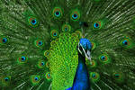 Indian Peafowl-8219