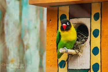 Yellow-collared Lovebird-2193