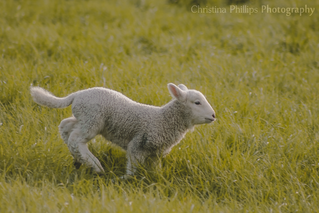 Lamb-8150 by Christina-Phillips