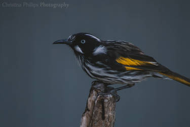 New Holland Honeyeater-9397 by Christina-Phillips