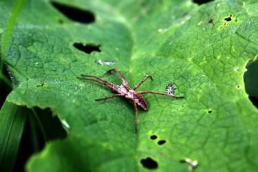 Spider leaf by Nimau