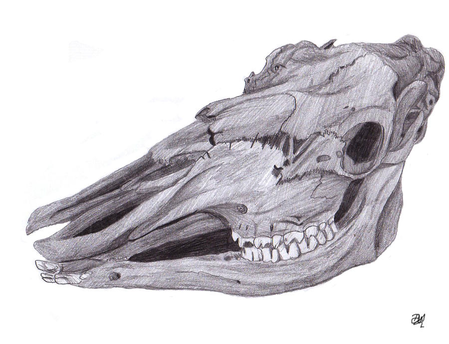 Moose skull drawing - photo#12