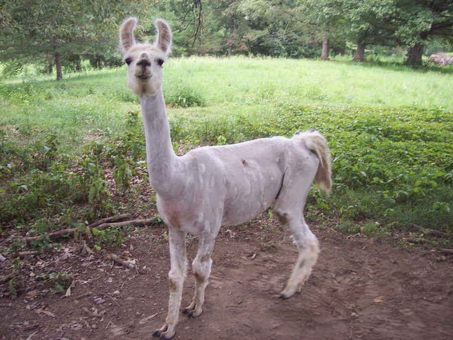 Funny Shaved Llama | Dog Breeds Picture