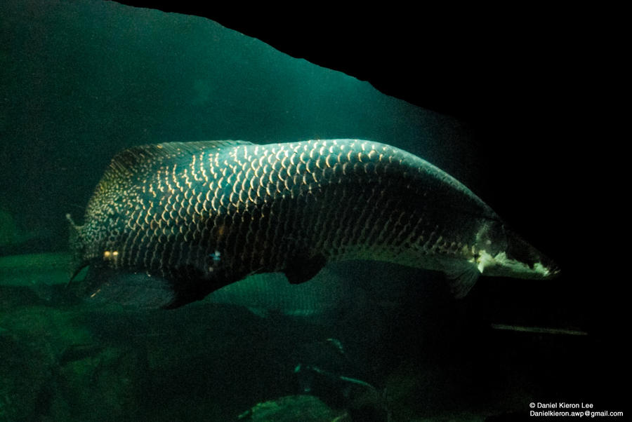 Monster fish of the amazon by prometheusxii on deviantart for Fish of the amazon