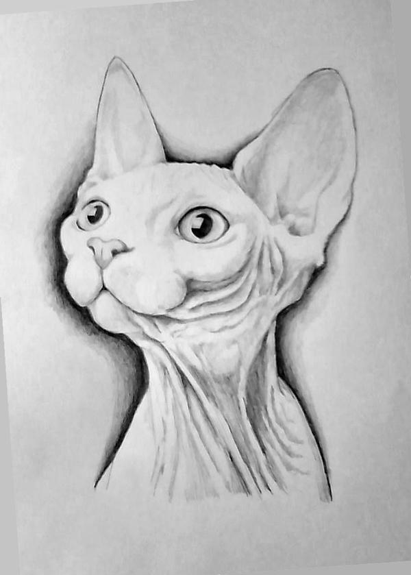 Related Keywords U0026 Suggestions For Hairless Cat Drawing