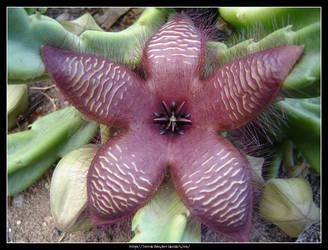 Stapelia Flower by Succulent-Club