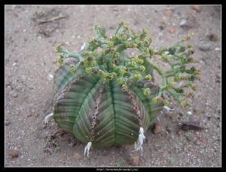 Euphorbia Meloformis 3 by Succulent-Club