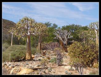 Aloe Dichotoma by Succulent-Club