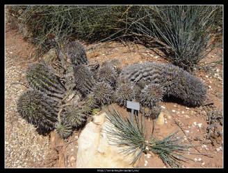 Euphorbia Horrida 3 by Succulent-Club