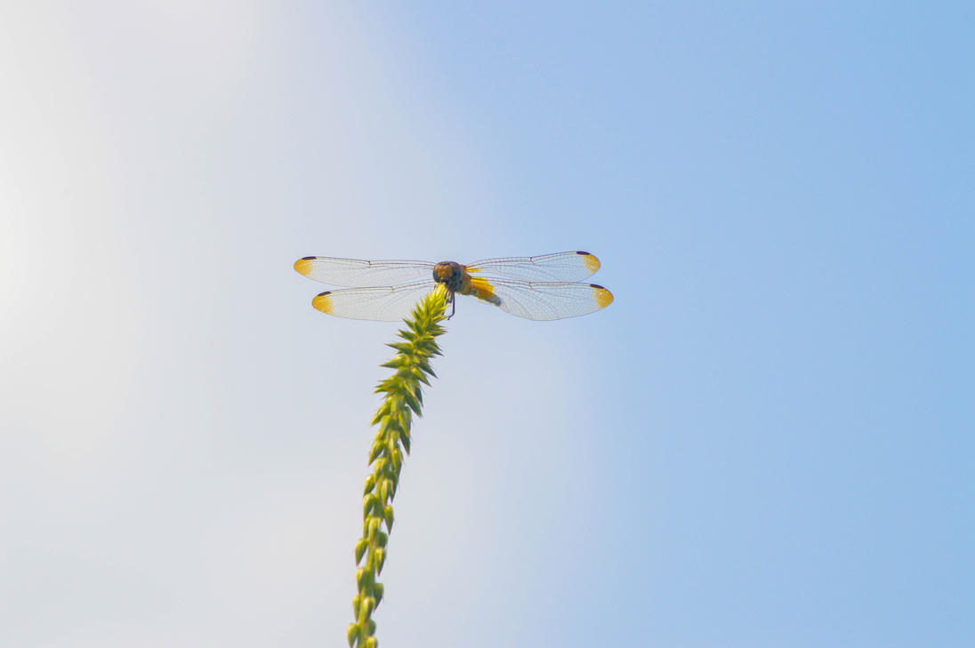 Dragonfly by bhautik1