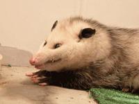 Opossum smile by LilxByrd