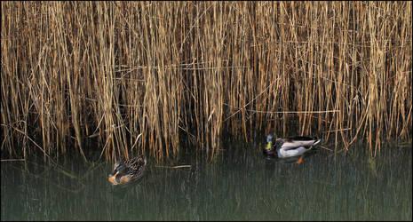 The extraordinary life of ducks