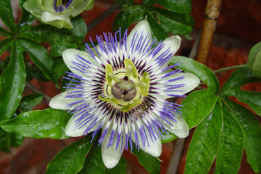 Passion Flower and Hoverfly by dpw-shane