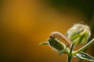 Campion Moth Caterpillar on Orange Background