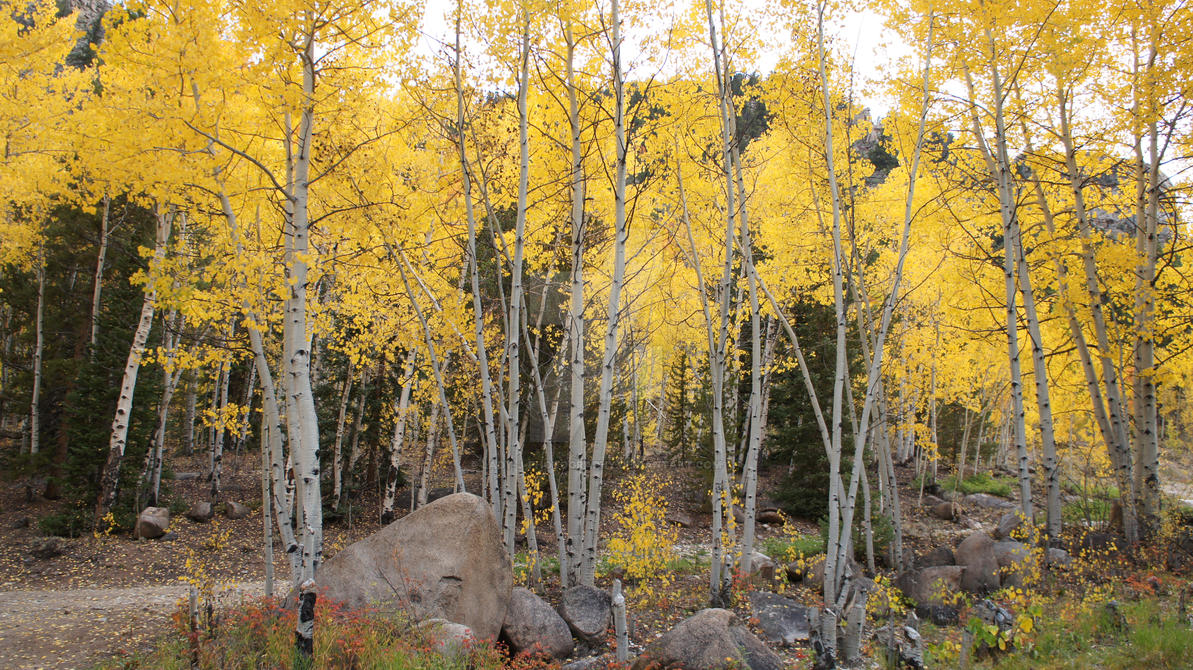 Colorado Autumn Aspens by Lady-J-Photography