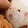 Free rat icon 2 100x100 by SuperTuffPinkPuff