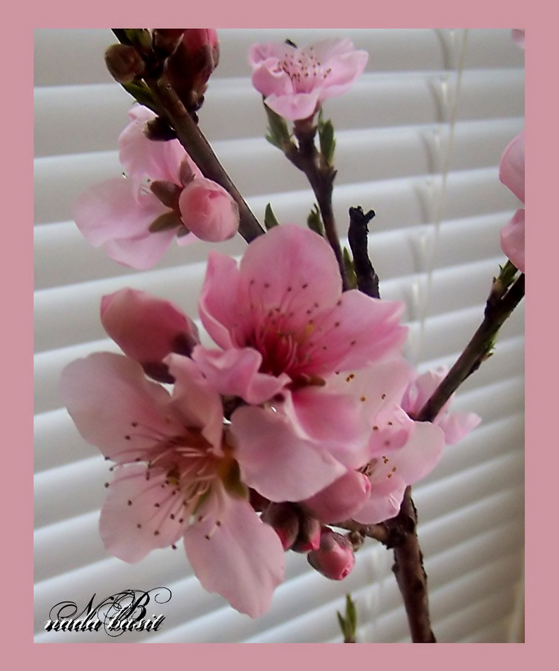 Peach Blossoms By Silver Dew Drop