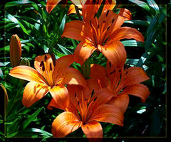 Tiger Lillies by Silver-Dew-Drop