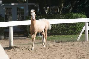 Foal Stock 04 by DancingFoxie