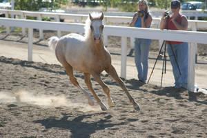 Foal Stock 08 by DancingFoxie