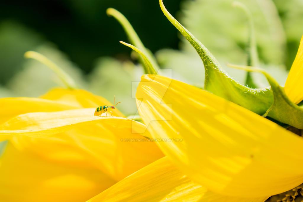 Bug atop a sunflower leaf. by cesarpadilla