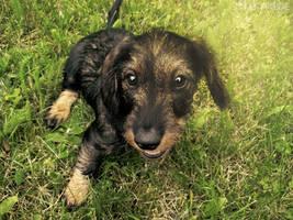 Dog's eyes of wisdom by DarkBrownie