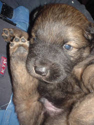 Puppy 5. by sulphurspring