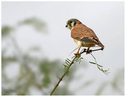 American kestrel by PeterJCoskun