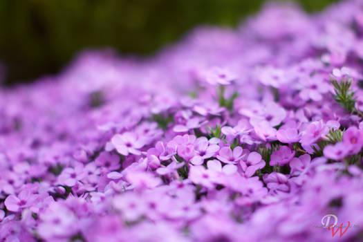 Violet Flowers #6