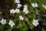 White Flowers #8