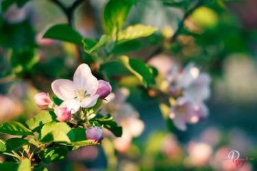 Apple Tree Flower #4