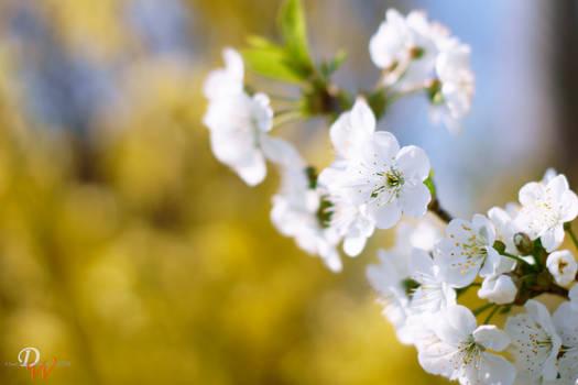 Cherry Blossom #19