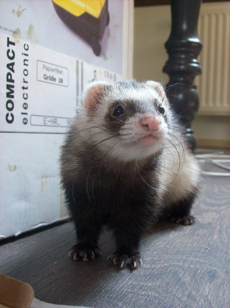 Ferret Stock 6 by Dingelientje-stock