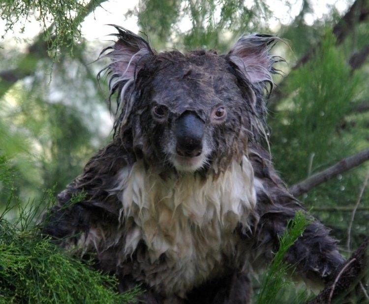 Evil koala bear by franzelano