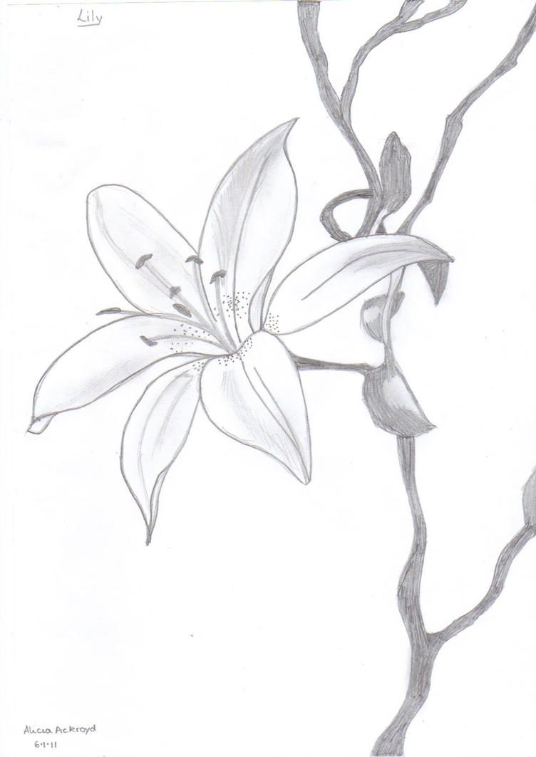 Uncategorized Drawing Of Lily lily pencil drawing by fashionnightmare12 on deviantart fashionnightmare12