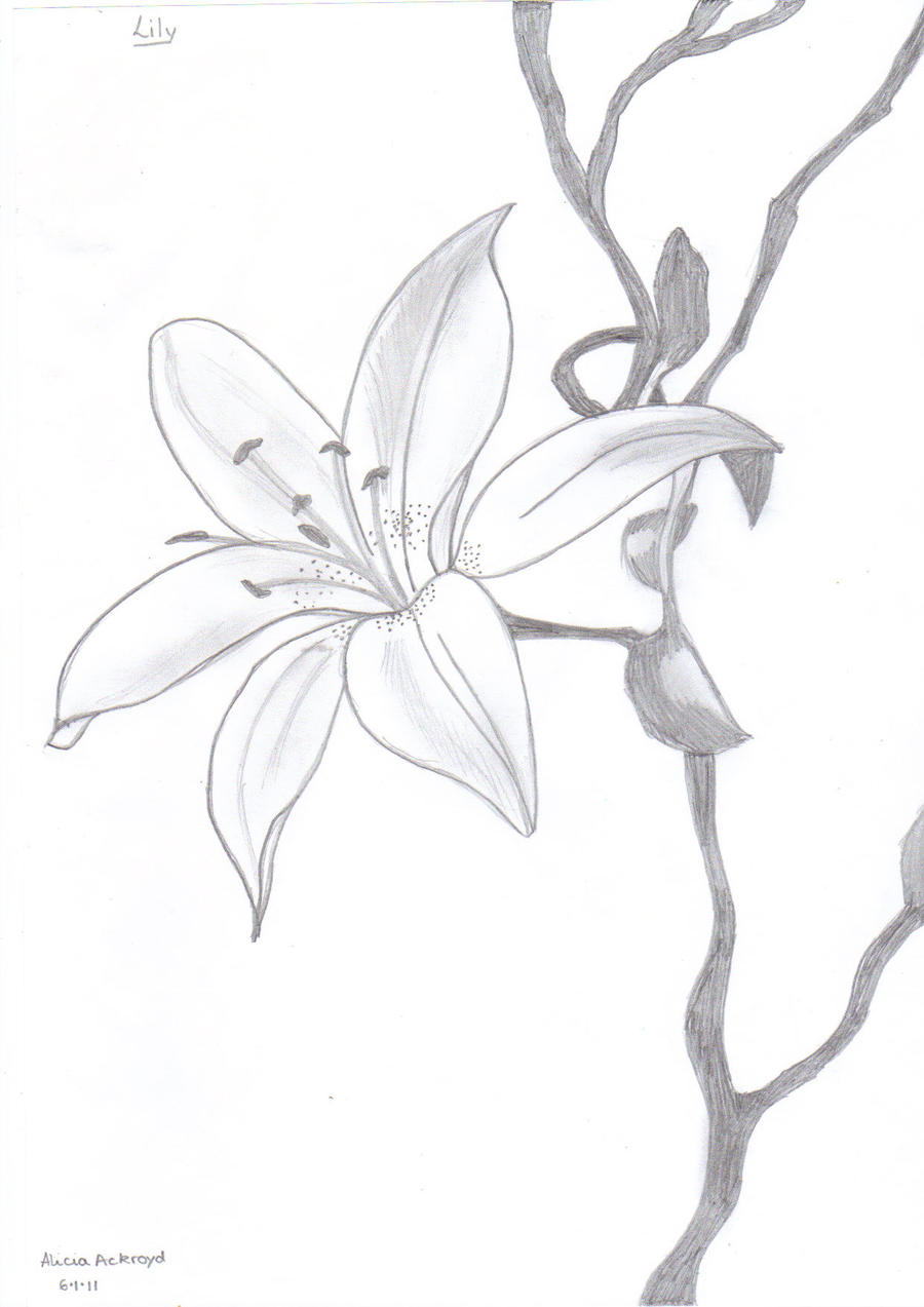 Lily Pencil Drawing by fashionnightmare12Lily Flower Drawings In Pencil