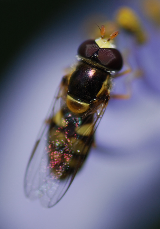 Hoverfly by Danelaw
