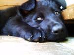 Rocky, puppy