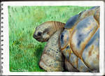 Watercolor studying- turtle