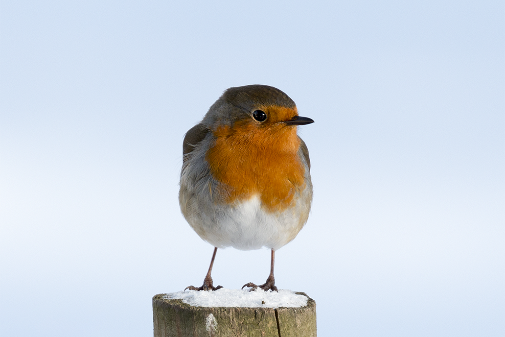 European Robin (Erithacus rubecula) by Spotting-Nature